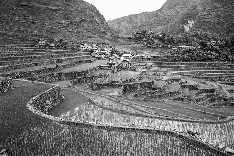 Philippines: frantic dog race in the rice fields of Banaue