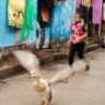 India: escapement of a goose in the heart of Kolkata